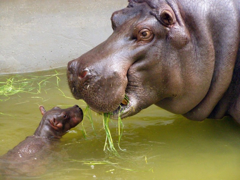 Мать и дитя в мире животных: бегемот с бегемотиком. Фото