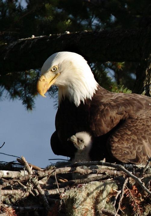 Мать и дитя в мире животных: белоголовый орлан с птенцом. Фото
