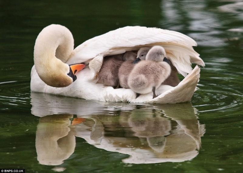 Мать и дитя в мире животных: белая лебедь с птенцами. Фото