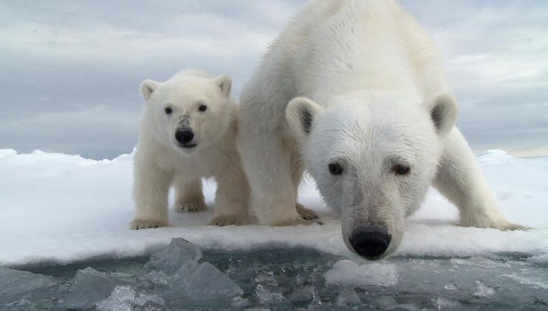 Мать и дитя в мире животных: белая медведица с медвежонком. Фото