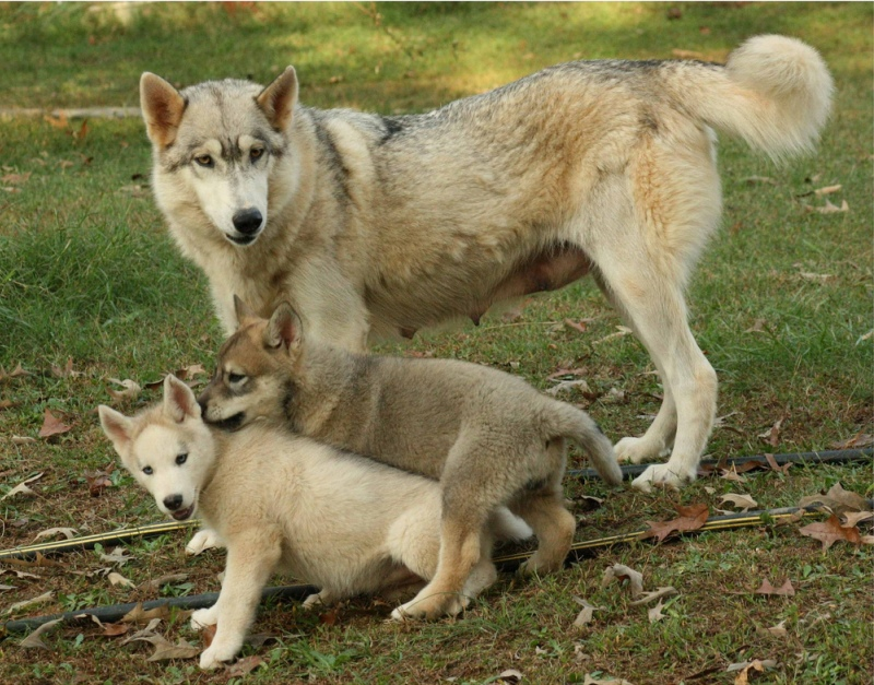 Мать и дитя в мире животных: волчица с волчатами. Фото