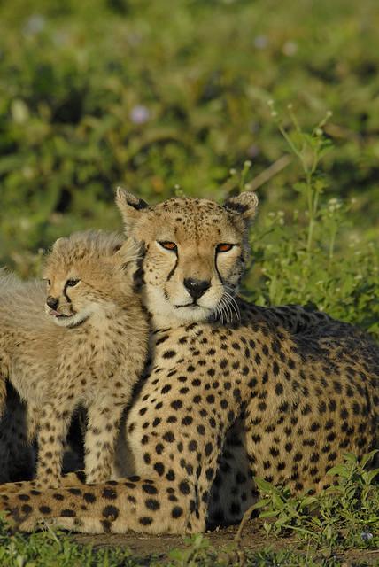 Мать и дитя в мире животных: самка гепарда с детенышем. Фото