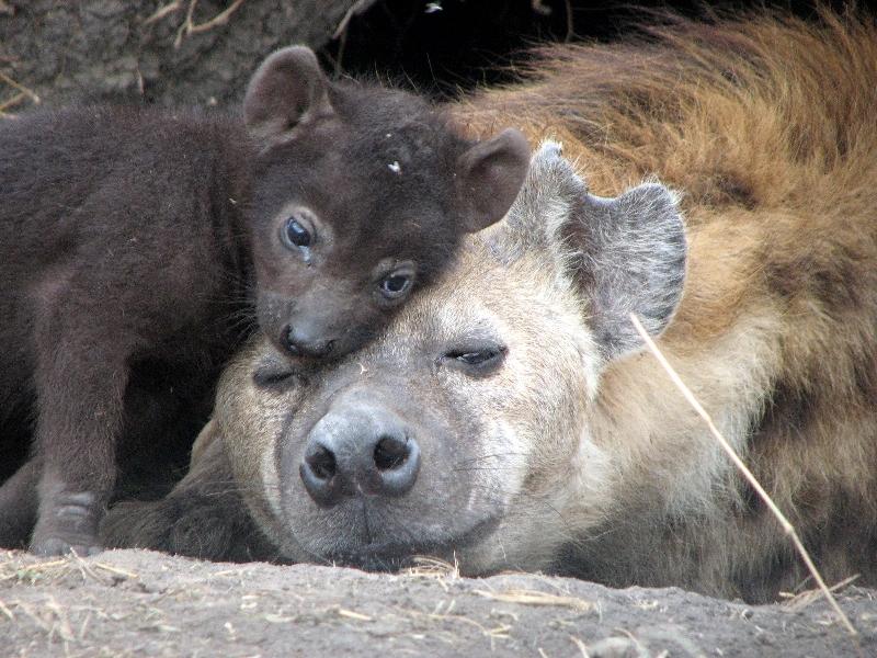 Мать и дитя в мире животных: гиена с детенышем. Фото