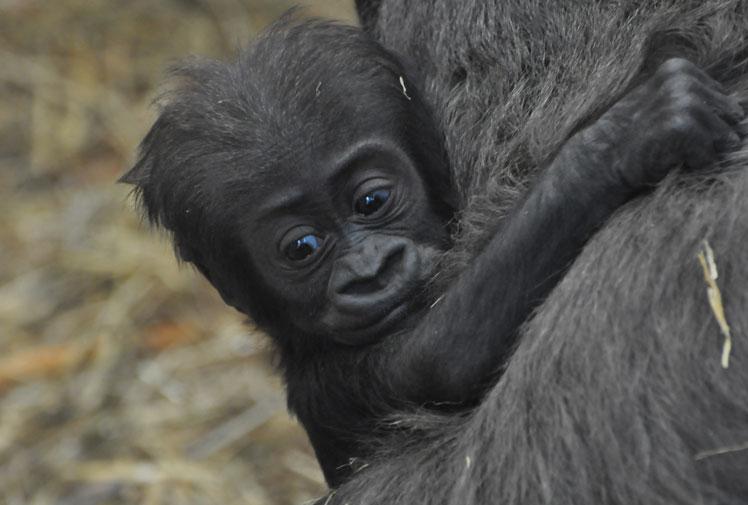 Мать и дитя в мире животных: детеныш гориллы обнял маму. Фото