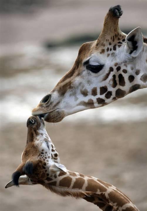 Мать и дитя в мире животных: жирафиха с жирафиком. Фото