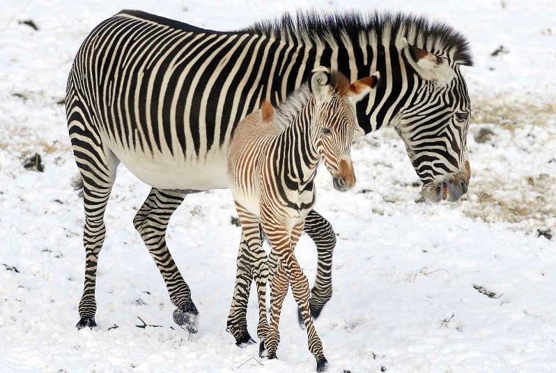 Мать и дитя в мире животных: зебра с детенышем. Фото