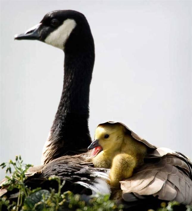Мать и дитя в мире животных: канадская гусыня с птенцом. Фото
