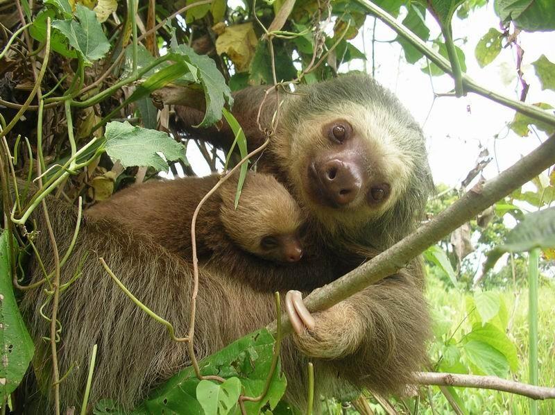 Мать и дитя в мире животных: ленивец с детенышем. Фото
