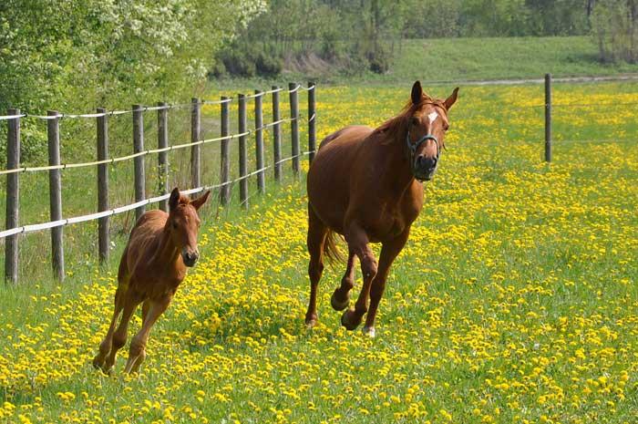 Мать и дитя в мире животных: лошадь с жеребенком. Фото