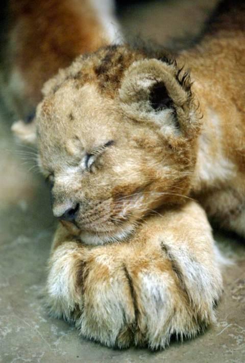 сладкий сон львенка. Фото