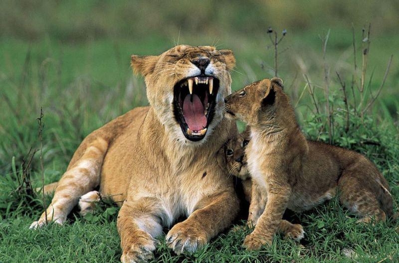 Подушка для львенка:
