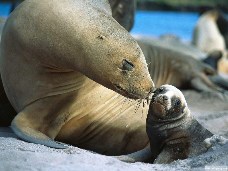 Мать и дитя в мире животных: морская львица с детенышем. Фото