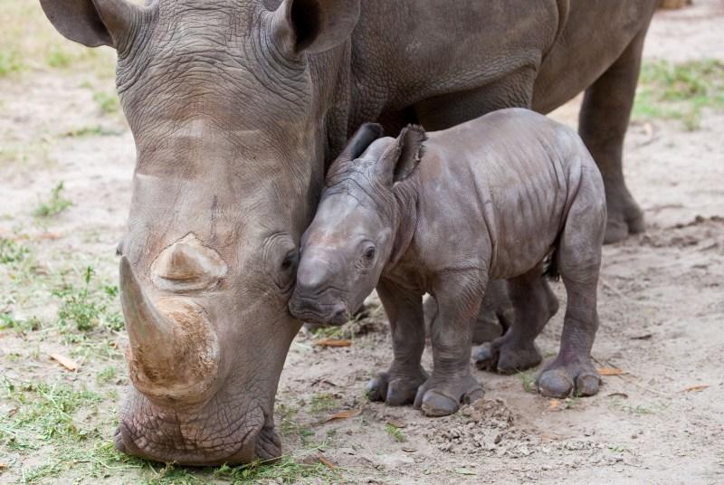 Мать и дитя в мире животных: носорог с детенышем. Фото