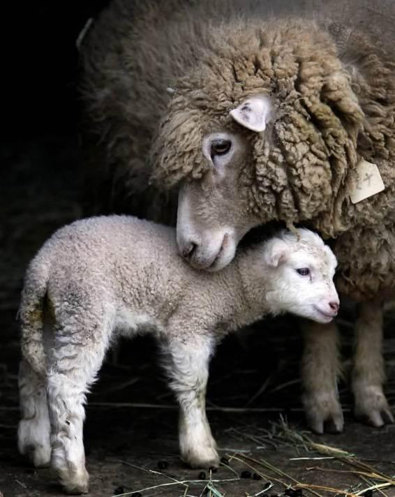 Мать и дитя в мире животных: овца с ягненком. Фото