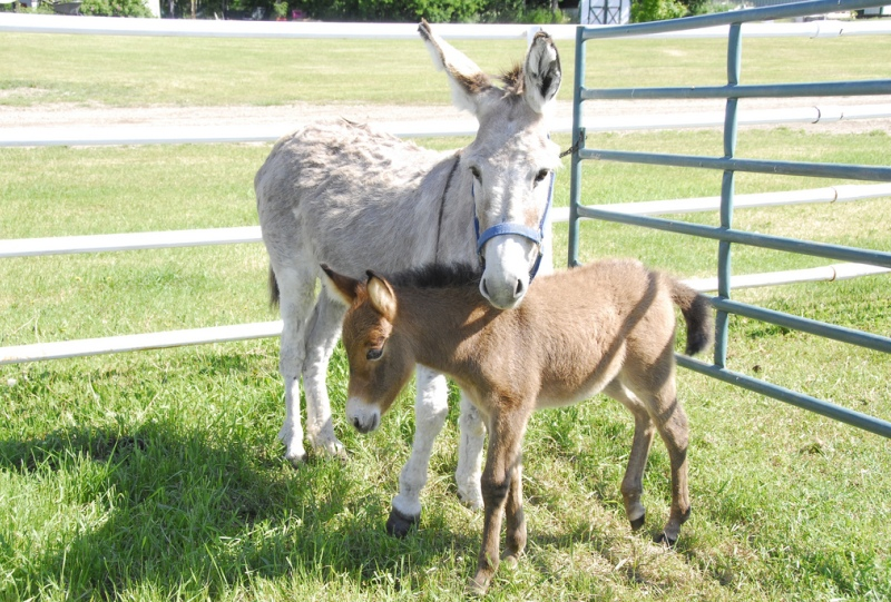 Мать и дитя в мире животных: ослиха с осликом. Фото