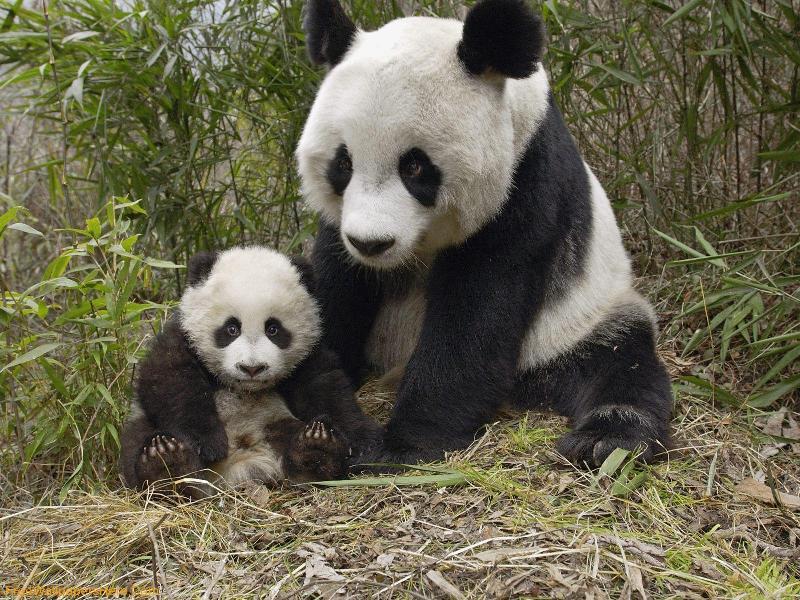 Мать и дитя в мире животных: панда с детенышем. Фото