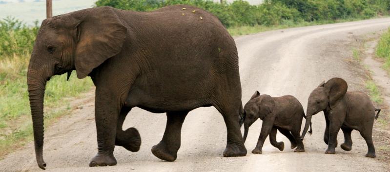 Мать и дитя в мире животных: слониха со слонятами. Фото