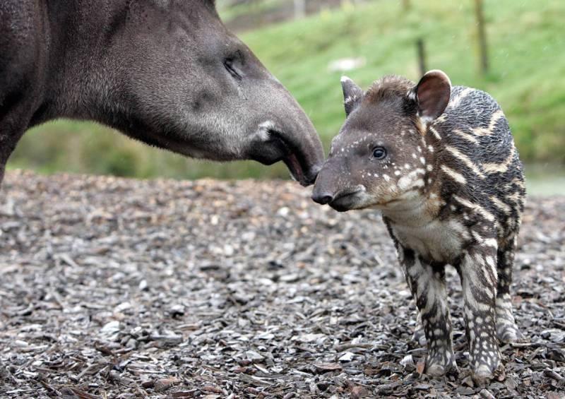 Мать и дитя в мире животных: тапиры. Фото