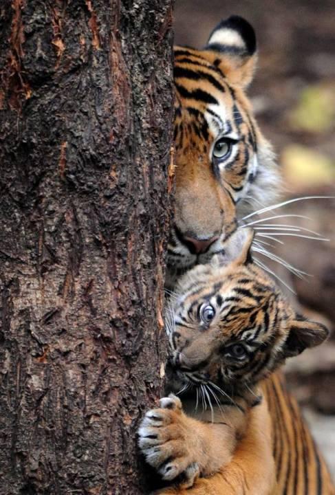 Мать и дитя в мире животных: тигрица с тигренком. Фото