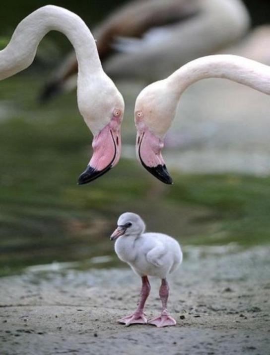 Мать и дитя в мире животных: фламинго с птенцом. Фото